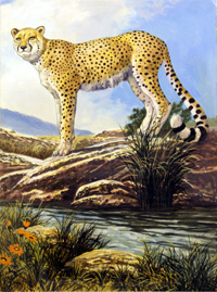 The Cheetah (Original) by G W Backhouse